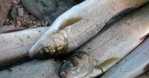 I pesci ingeriscono microplastiche