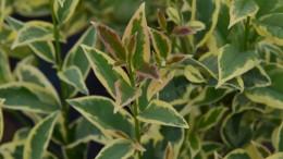 ligustrum japonicum variegato